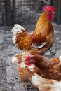 Red rooster and hens Royalty Free Stock Image