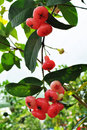 Red rose apple tree Stock Images