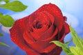 Červená ruža kvetina