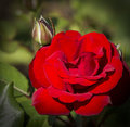 Red rose beautiful photo of a blooming in a garden Royalty Free Stock Image