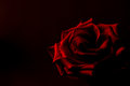 Red Rose Black Background