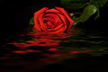 Red rose black background water reflection Royalty Free Stock Photo