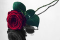 Red rose with black and white reflection Royalty Free Stock Photo
