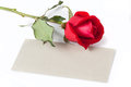 Red rose with blank card gift on white Stock Image