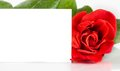 Red rose and blank gift card for text on white background greeting concept Stock Photos