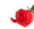 Red rose and blank gift card for text on white background valentine day love concept Stock Photo