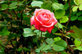 Red Rose Blooming