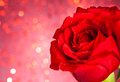 Red rose on bokeh background valentine day and love concept with drops Royalty Free Stock Image