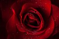 Red Rose From Boquete
