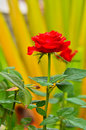 Red Rose on the Branch Stock Image