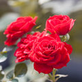 Red rose on the branch in the garden beautiful Royalty Free Stock Images