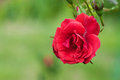 Red rose in the branch on green background Royalty Free Stock Photos