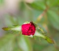 Red rose budding Royalty Free Stock Photo