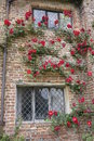 Red rose climbing up old cottage brick house with leaded windows UK Royalty Free Stock Photo