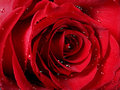 Red rose close-up Royalty Free Stock Images