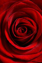 Red rose close up Royalty Free Stock Photo