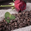 Red rose on coffee beans Royalty Free Stock Photos