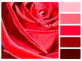 Red rose colour palette complimentary swatches Stock Image