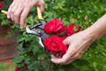 Red rose cutting roses in the garden Stock Photos