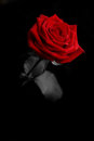 Red rose from the darkness a Royalty Free Stock Image