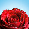 Red rose with dew covered in in front of a blue background Royalty Free Stock Photo