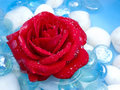 Red Rose with Dew Drops Stock Image