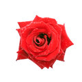 Red rose with dew drops, top view. Stock Photography