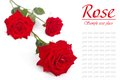 Red rose with drops of dew isolated on white background. Royalty Free Stock Photo