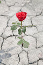Red rose in dry earth Royalty Free Stock Photo