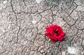 Red rose on dry mud with cracks Royalty Free Stock Photo