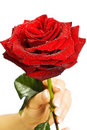 Red rose in female hands Royalty Free Stock Image