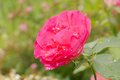 Red rose flower in the garden Stock Photography
