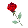 The red rose flower isolated on white background, watercolor illustration