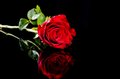 Red rose  flower with reflection on black surface Royalty Free Stock Photo