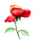 Red rose flower watercolor illustration Stock Photo
