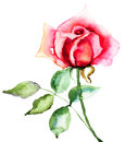 Red rose flower watercolor illustration Royalty Free Stock Photo