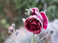 Red rose with frost Royalty Free Stock Photo