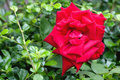 Red rose on garden the Stock Photos