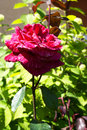 Red rose in the garden on sunny summer day Royalty Free Stock Photos