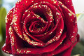 Red rose a with gold glitter Stock Images