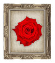 red rose on golden frame with empty grunge linen canvas Royalty Free Stock Photo