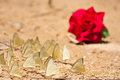 Red rose and group of pieridae butterfly Stock Photos