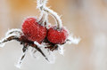 Red rose-hips macro in winter under frost Stock Images