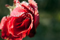 Red rose with ice crystals of water. Spring flower in winter time. Royalty Free Stock Photo