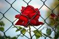 Red rose imprisoned in my garden Stock Photos