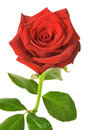 Red rose isolated Royalty Free Stock Images