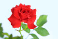 Red rose isolated on white background Stock Photos