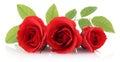 Image : Red Rose  spring