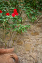 Red rose in large clay pot outdoors on stone wall Royalty Free Stock Photo