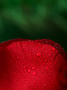 Red rose with lots of water drops macro Royalty Free Stock Image